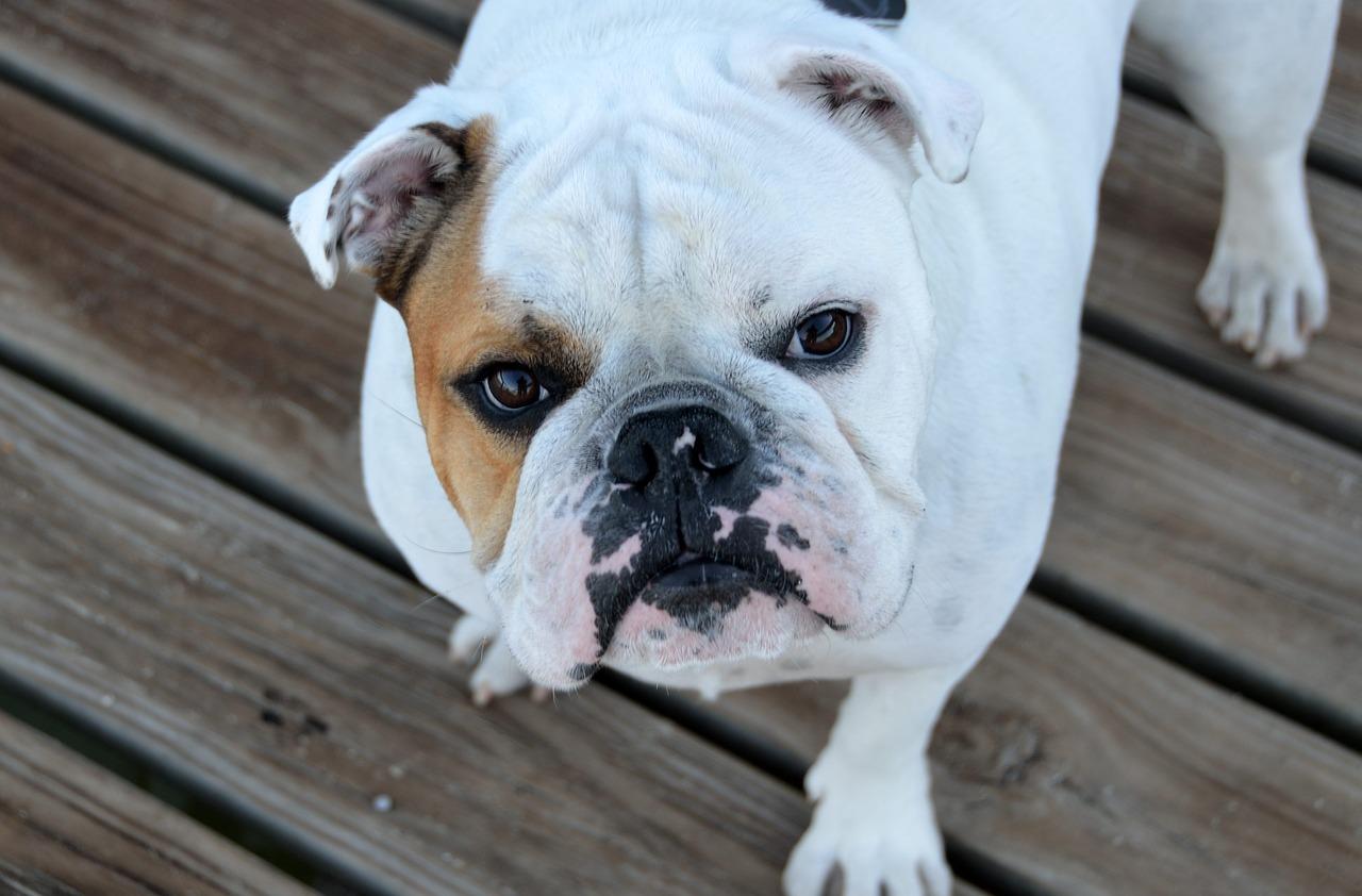 bulldog pes